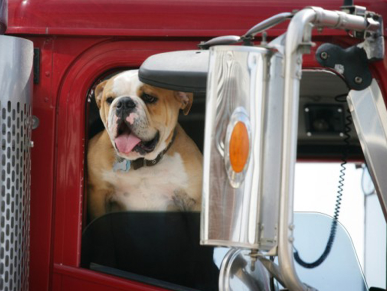 Bulldog leaning outside window of semi truck